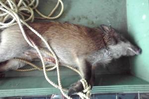 猪入荷 丹沢の天然猪。12貫(およそ48キロ)メスの柔らかいお肉が入荷しました。ぜひ、ご賞味下さい。